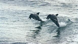 Delfiny wchodzą na wyższy stopień ewolucji? Przekazują wiedzę potomstwu