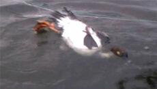 Dzika kaczka zaplątała się w sieci. Uwolnili ją policjanci polujący na kłusowników