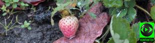 """Dolnośląskie truskawki nie czują jesieni. """"To nie ma sensu biologicznego"""""""