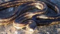 Globalne ocieplenie służy wężom. Szybciej się rozmnażają