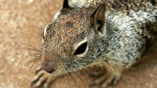Mordercze wiewiórki z Ameryki niosą zagładę rudych Basiek