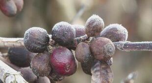 Brazylijskim rolnikom zmarzły plantacje kawy